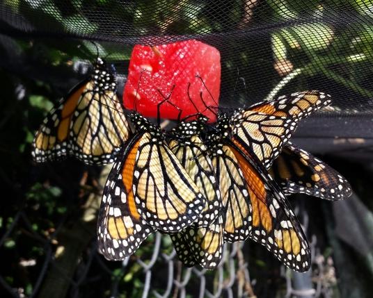 Monarch butterfly : feeding