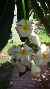 "these White ""Plumeria"", or ""Kalachuchi"" blossoms permeates in the hallways of our hotel every morning."