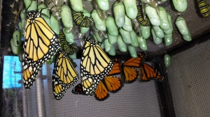 Chrysalis and butterflies.