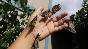 Monarch butterflies in my hands.
