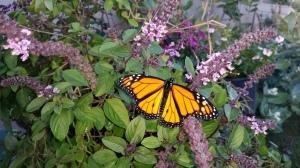 Monarch on a Thai basil plant.